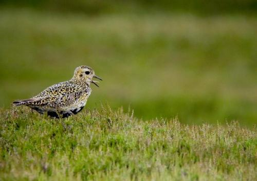 Golden Plover Singing