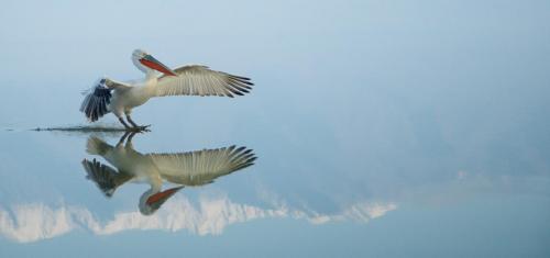 Pelecanus Crispus - Dalmation Pelican