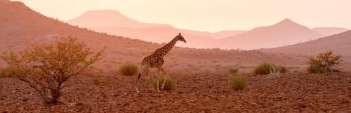 Giraffe at Sundown Damaraland Namibia
