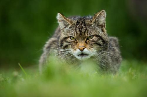 Scottish Wildcat (Felis Sylvestus)