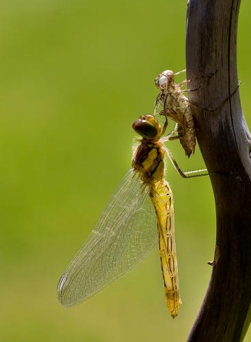Common Darter Emergence