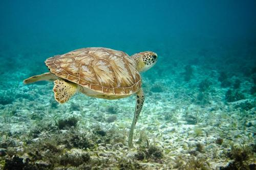 Critically Endangered Hawksbill Turtle