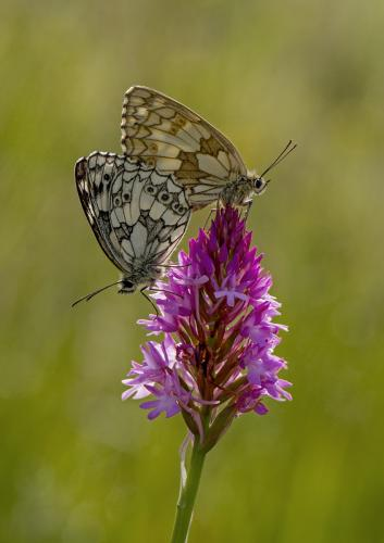 Backlit Marbled Whites on Pyramidal Orchid