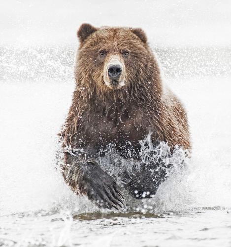 Coastal Bear fishing