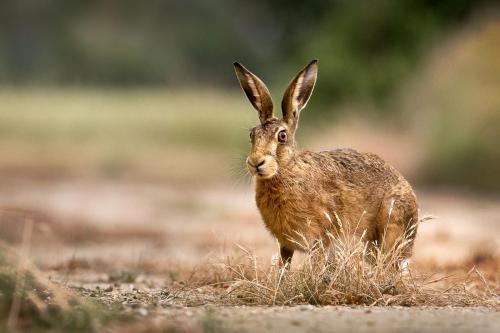 Brown Hare (Lepus Europeaus)