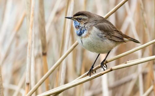 Bluethroat in Reed  Bed
