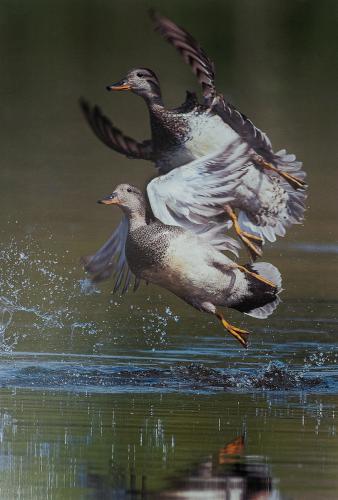 Duck Duet