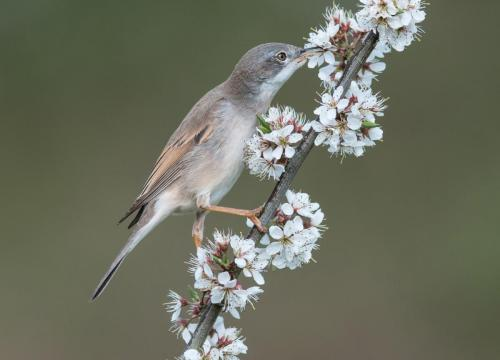 Whitethroat Nectaring on Blackthorn