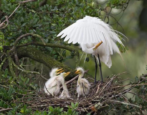 Common Egret Preening at Nest