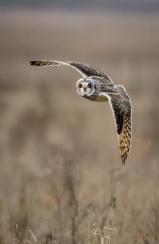 Eye Contact Short Eared Owl