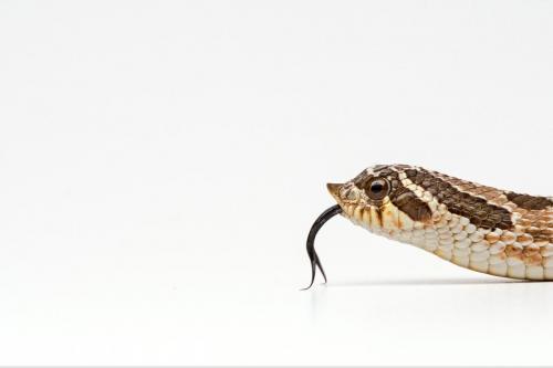 Western Hog Nosed Snake