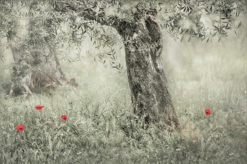 Olive trees & Poppies