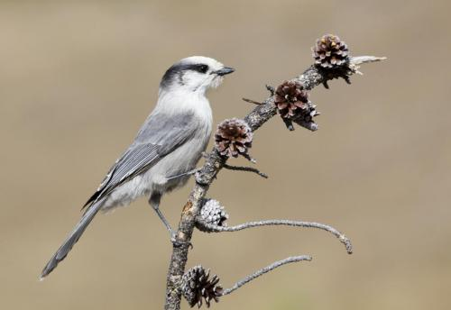 Gray jay on pine twig