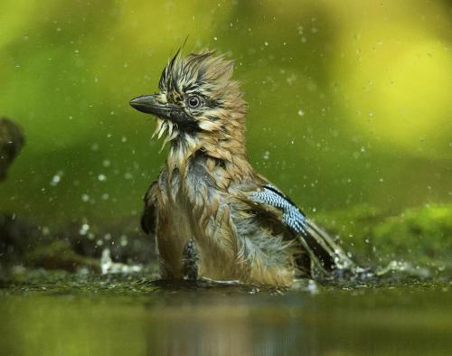 Bathing Jay