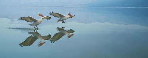 Reflected Dalmatian Pelicans Landing