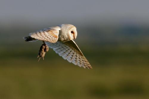 Barn Owl (Tyto alba) with prey