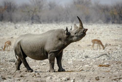Black Rhino Tasting The Air