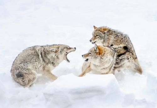 Coyote Fight