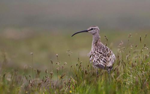 Whimbrell on the moor