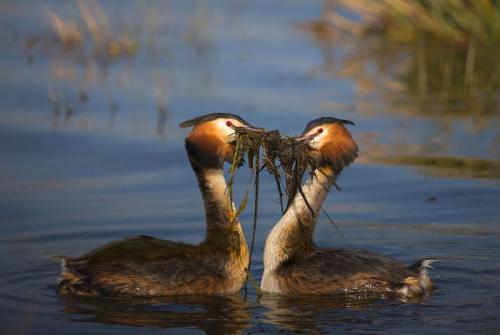 Great Crested Grebes Weed Dancing