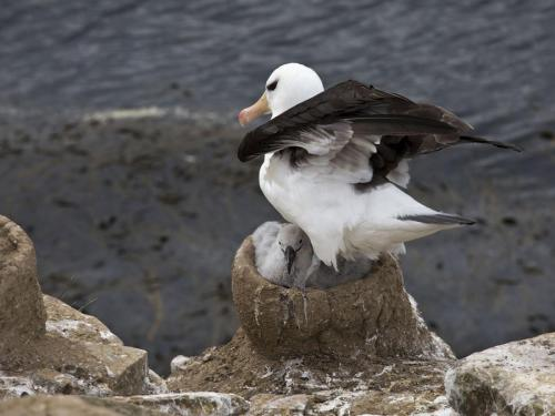 Blackbrowed Albatross Guarding its Chick
