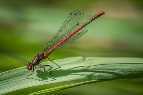 Red Damsel and Shadow