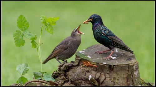 Starlings Feeding Young