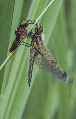 4 Spotted Chaser on Exuvia
