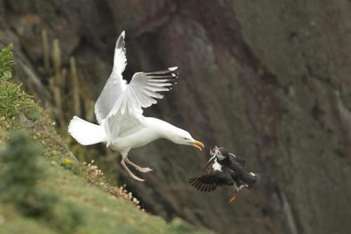 Fratercula Artica -  Puffin under attack