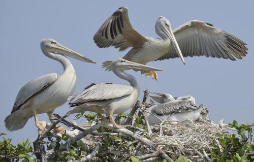 The Pelican Nest