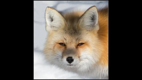 Wyoming Wild Fox