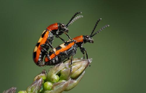 Aspargus Beetles Mating