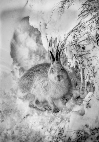 Snow Hare on Ben Nevis