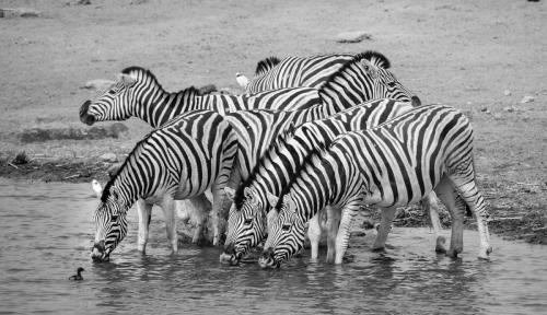 Zebras at the Water Hole