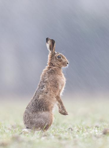 Brown Hare in Rain