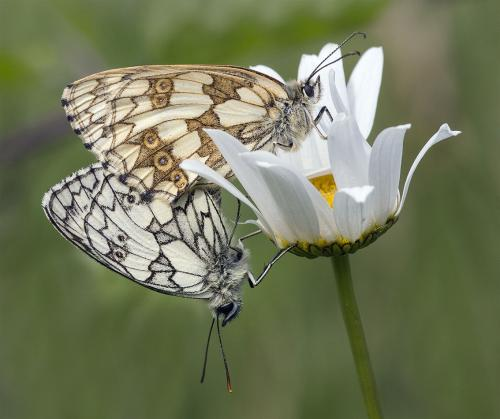 Mating Marbled Whites