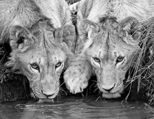 Lion Cubs Drinking Masai Mara