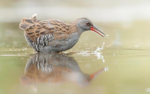 Water Rail Fishing