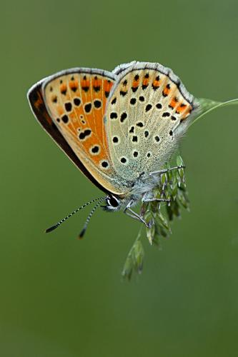 Alice Kendrick_Female Large Copper, Lycaena dispar