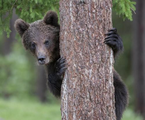 Wild Brown Bear Peek-a-Boo