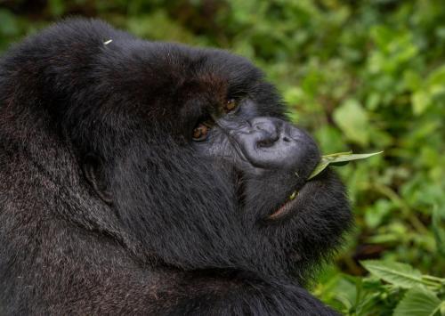 Silverback Mountain Gorilla, Rwanda
