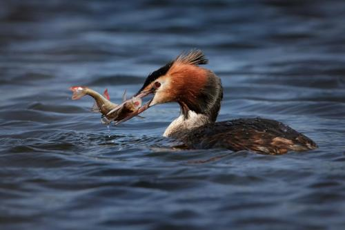 Great Crested Grebe (Podiceps cristatus) with prey