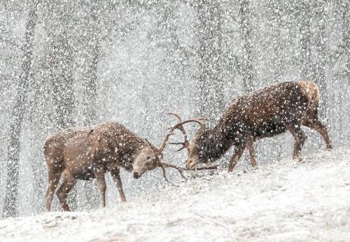 Red Deer Sparring