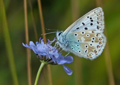 Chalkhill Blue Butterfly on Field Scabious