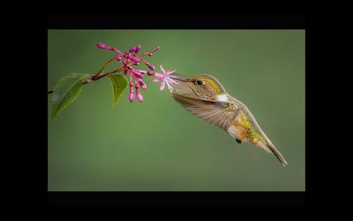 Volcano Hummingbird in the wild
