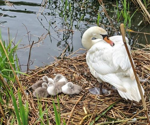 Debbie Hall_Parent Swan and Cygnets