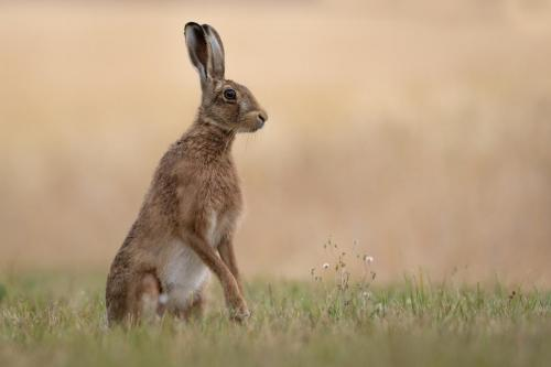 Hare with Wild Flowers