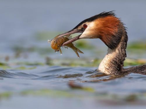 Great Crested Grebe with Ruffe