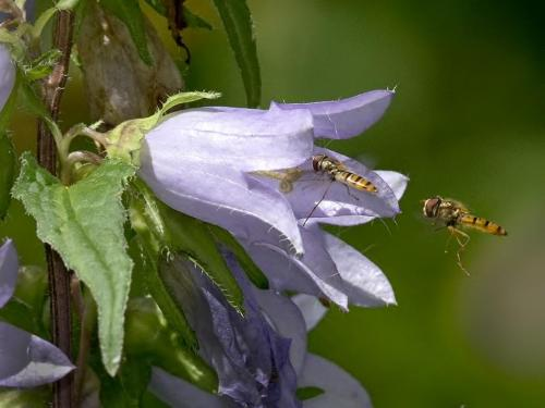 Nettle-leaved Bellflower with Hoverflies