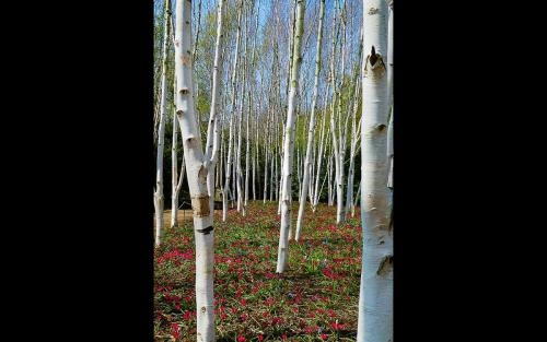 Himalayan Silver Birch and Deep Red Minature Tulips